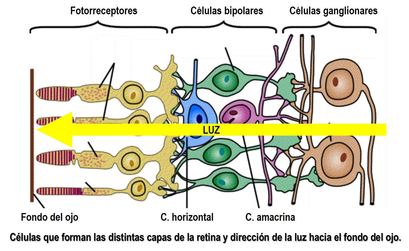 El ojo: Su anatomía y funcionamiento