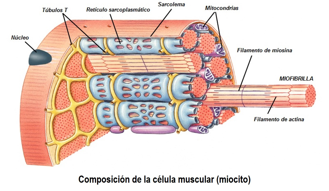 Contracción muscular y musculatura