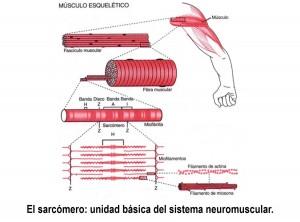 músculo 3