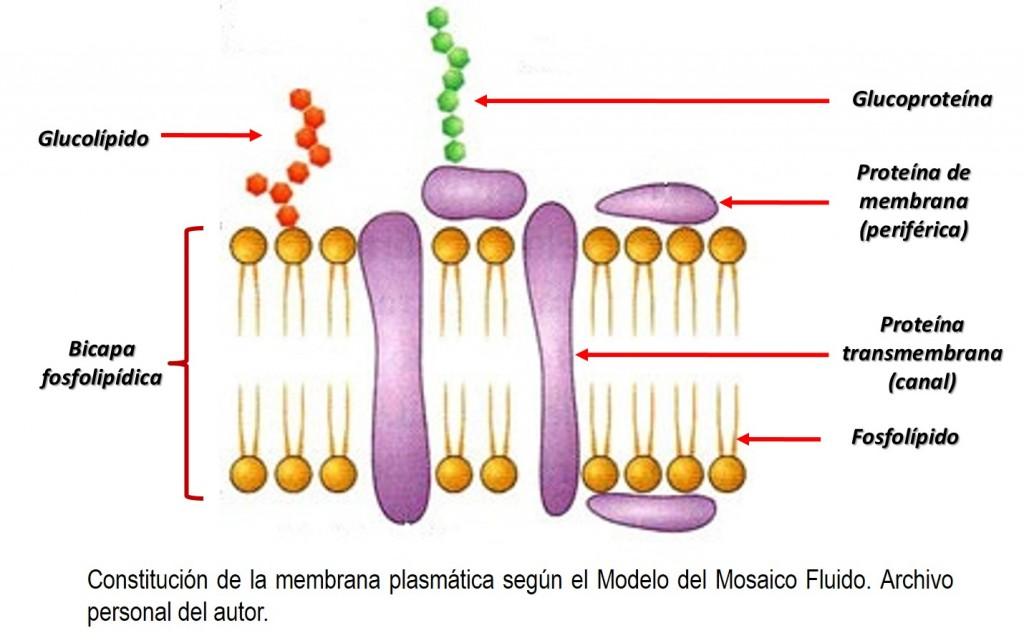 Imagenes De La Membrana Celular