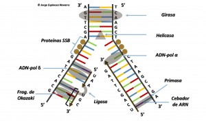 replicación del ADN 2